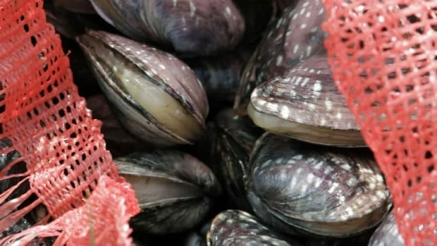 A New Brunswick-based seafood company is interested in starting up a clam farm in this province. (CBC)