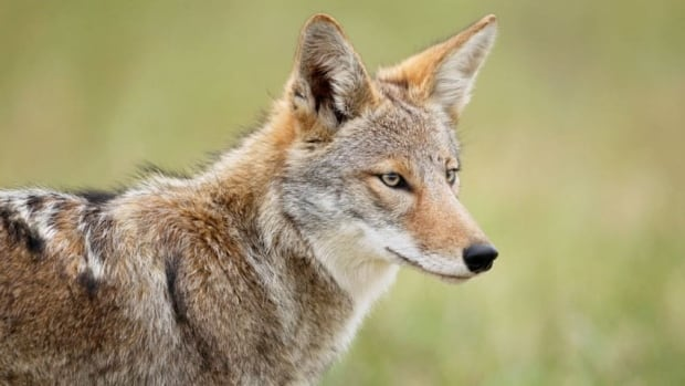 A Calgary family says they were able to chase a coyote out of their home using a vacuum cleaner earlier this week. (iStock)