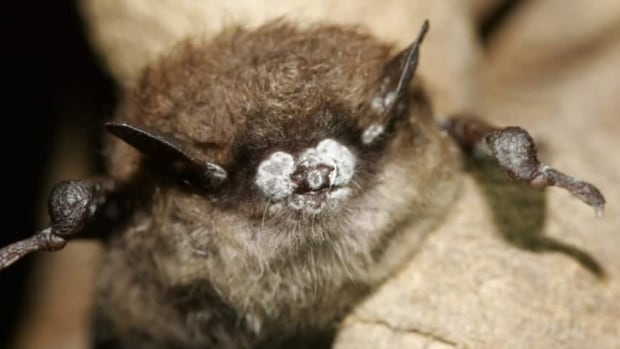 White-nose syndrome was first discovered in New York state in 2006. It quickly spread across North America. (New York Department of Environmental Conservation/AP)