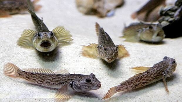 Goby fish are an invasive species threatening the Great Lakes ecosystem. Ontario Ministry of Natural Resources and Forestry officials say if anglers catch them, they should kill them.