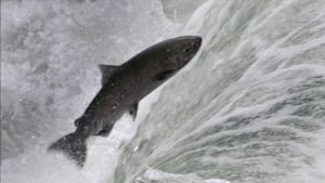 hi-chinook-salmon-cp0252715
