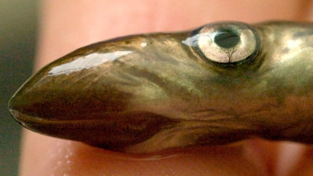 Since the 1990s, scientists have been researching the use of pheromones — natural odours used by sea lampreys to communicate — to manipulate sea lamprey behaviours.