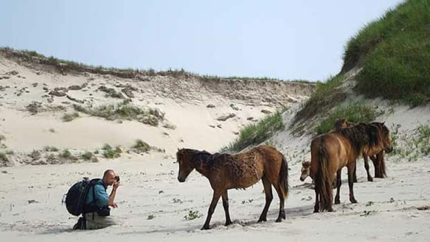 Sable's wild horses were the subject of a documentary, Chasing Wild Horses, by a Halifax filmmaker. (Arcadia)