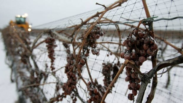 Ontario icewine producers are waiting for a cold snap of at least -8 C before they are allowed to harvest their grapes.