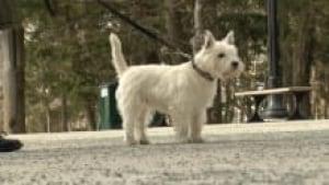 ns-westie-dog_220x124_1