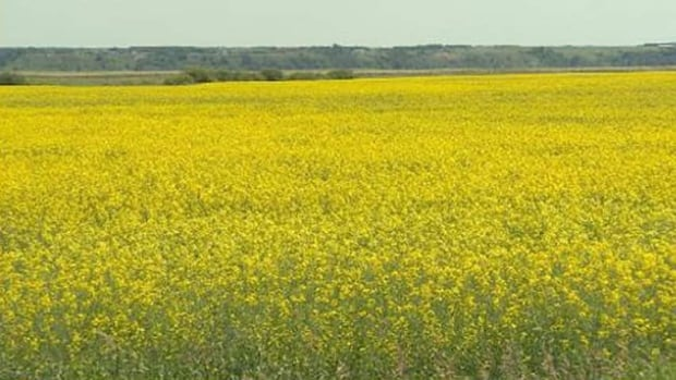 Neonicotinoids are commonly used to control pests in western Canadian canola fields.