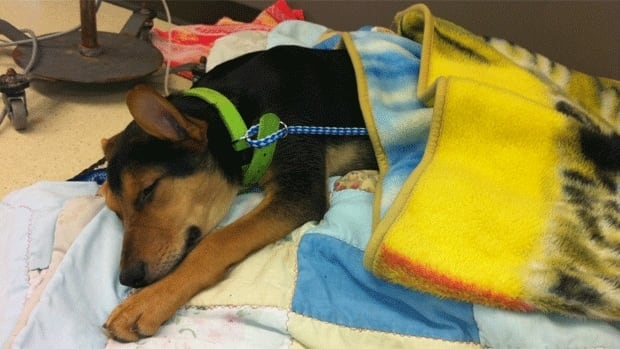 Puppy Jackson is recovering well after undergoing hip surgery on Monday.