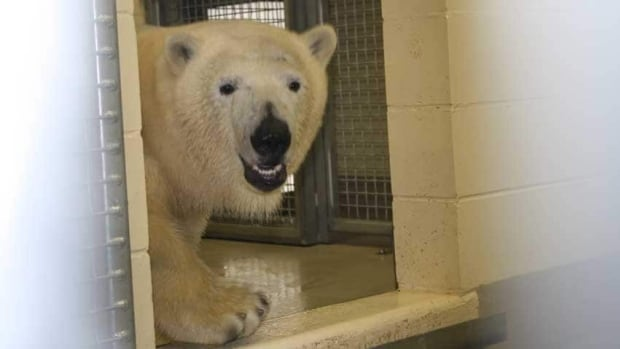 Hudson the polar bear that arrived at Winnipeg's zoo in January will be getting a new 3-year-old friend from Churchill.