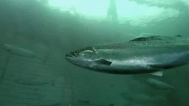 A farmed Atlantic salmon swimming.