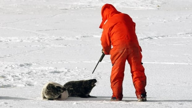 A seal hunter prepares to shoot a grey seal on Hay Island, N.S.