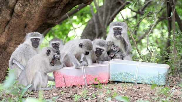 The study was originally trying to find out if mother monkeys would pass their food preferences on to their offspring.