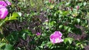 si-nb-rose-bushes-220