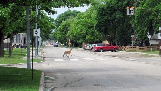 A deer uses a crosswalk in Winnipeg Friday afternoon on Point Road by Viscount Alexander School.