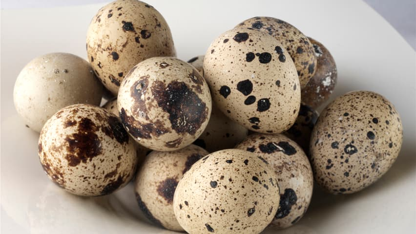 mother quails camouflage  Quail Bird Eggs