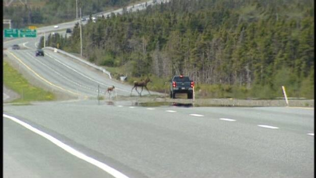 For the second year in a row, the Newfoundland and Labrador government is reducing the number of moose licences being issued.