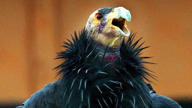 The California condor is among several endangered bird species especially vulnerable to the West Nile virus.