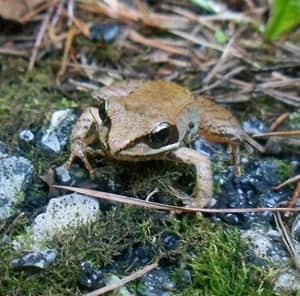sm-300-wood_frog-emilyk-wikimediacommons