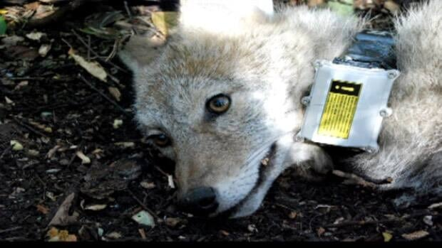 Researchers capture and tag a coyote in the River Valley. The city says the number of animals remains steady, but they are more visible this time of year.