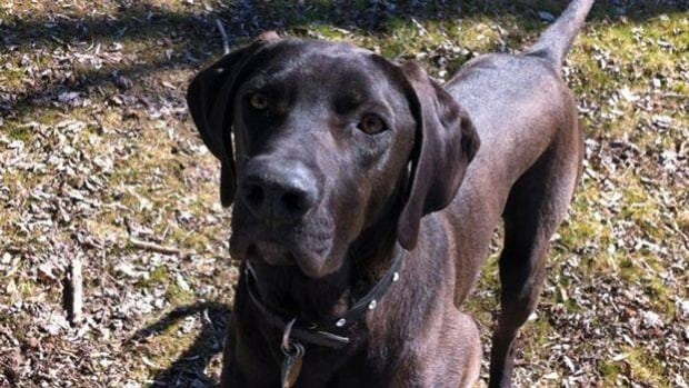 Tucker, a year-and-a-half-old chocolate Labrador dog, died after being left in a car for two hours in a the Vaughan Mills mall parking lot in June of 2012.