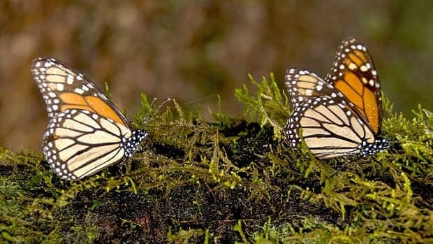 The decline in the Monarch population now marks a statistical long-term trend and can no longer be seen as a combination of yearly or seasonal events, experts say.