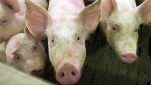 300-pigs-cp-6641216