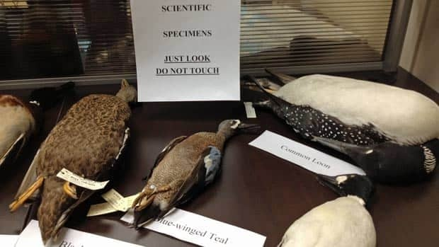 Researchers displayed some of the dozens of northern birds that may be impacted by the Ring of Fire mining development during the grand opening of the Four Rivers Matawa Enviromental Services Group office in Thunder Bay.