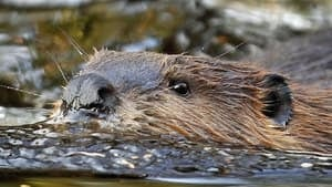 hi-beaver-attack-rtr2tgy0-4col