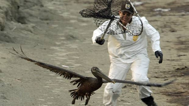 Wildlife biologist Kayla Dibenedetto tries to catch an oiled pelican in June 2010, after the the Gulf of Mexico oil spill. A trial to help figure out exactly how much more BP and other companies should pay for the spill began Monday.