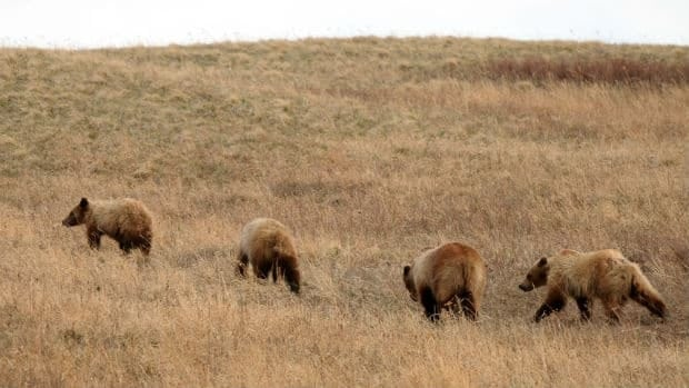 A southern Alberta wildlife officer says more grizzly bears have been spotted on the prairies, like these bears in Cardston.