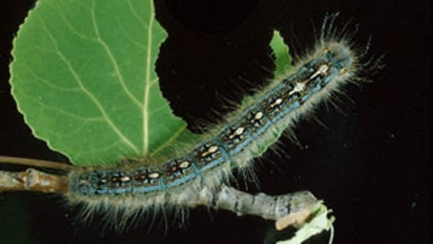 Forest tent caterpillars are hairy insects with large blue-coloured stripes on the abdomen and a line of white keyhole-shaped marks down their backs.