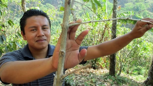 Wilson Tzunún, a member of the Campesino Committee of the Highlands in Guatemala, shows the branches of a coffee tree killed by fungus.