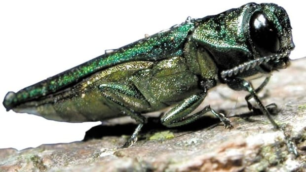 The green emerald ash borer beetles are from Asia, and were first detected in Detroit, Mich., in 2002 before coming to Toronto. The pests are being blamed for killing thousands of Toronto's ash trees.
