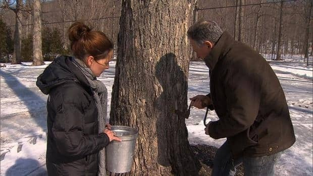 Maple syrup producers in central and southern New Brunswick are hoping for a better season.