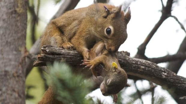 Canadian researchers have been studying red squirrels near Kluane Lake, Yukon for 22 years to find out how they are affected by changes in available resources such as food over time.