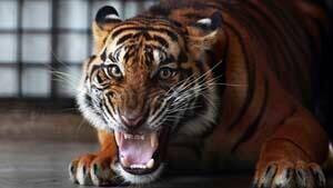 si-tiger-sumatra-rtr3ec53