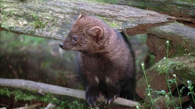 Federal biologists reviewing whether to put the West Coast population of fishers on the endangered species list are, for the first time under the Endangered Species Act, considering the threats from outlaw marijuana plantations.