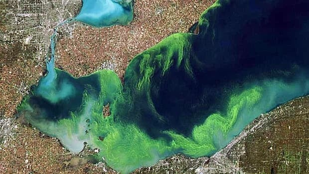 This satellite image shows blue-green algae on Lake Erie in 2011, the worst year for algal blooms on record.