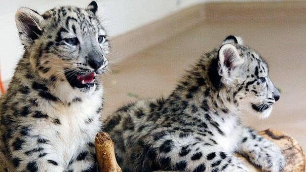 Snow-leopard cubs like this pair photographed in Olkahoma City in 2010 were born at a Winnipeg zoo on June 29.