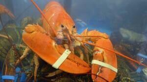hi-orange-lobster-852-4col