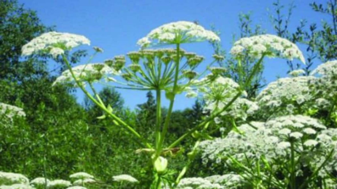 Giant Hogweed On Vancouver Island Bc