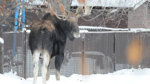 A 900-lb bull moose browses in a Grande Prairie yard on New Year's Eve shortly before it was shot by a wildlife officer.