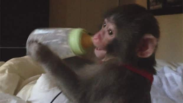 Darwin, the young monkey found wandering in an Ikea parking lot in Toronto, drinks from a baby bottle at his former owner's home.