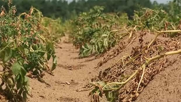A lack of rain and extremely hot temperatures have been badly affecting crops.