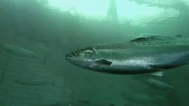 The Canadian Food Inspection Agency has confirmed that 450,000 farmed salmon, like those from the undated file photo above, have tested positive for a virus.