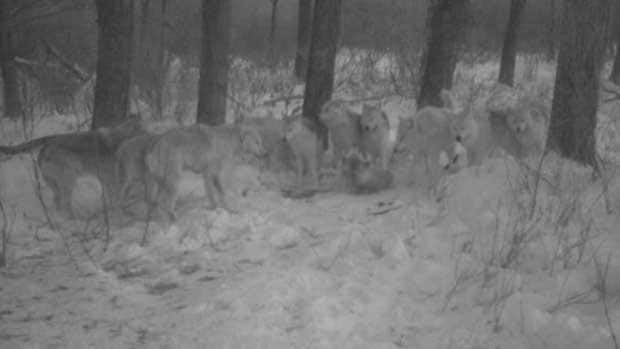 Approximately 11 wolves were photographed by a trail camera at Riding Mountain National Park in western Manitoba last week.
