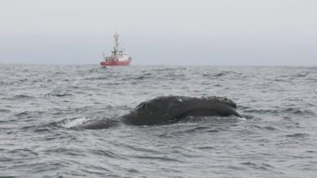hi-bc-130620-right-whale-haida-gwaii-dfo-1-6col