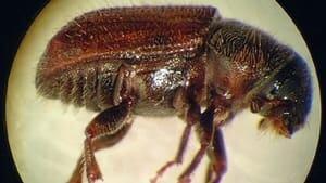 mi-eastern-larch-beetle-300