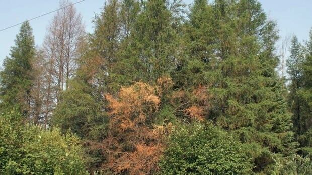 In July some infected larch trees start to show yellowing and browning of needles, often on the lower part of tree.