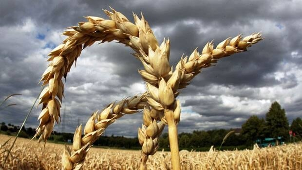 Global wheat production is expected to increase this year by 4.3 per cent compared with 2012.