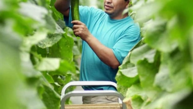 Farmworkers in Alberta are currently excluded from coverage under occupational health and safety, workers's compensation and employment standards regulations.